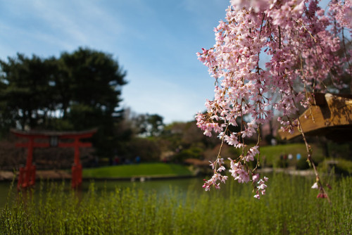 thetomharrison:   Cherry Blossom Tree & Japanese Torii 3 Apr 2010, Brooklyn Botanic Garden, Brooklyn, NY