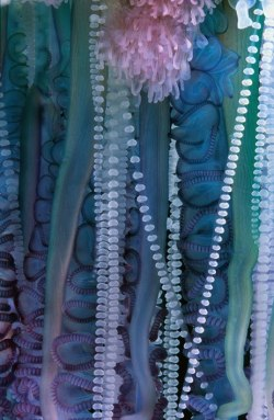 wnycradiolab:  griseus:  This is a closeup of the tentacles of Portuguese Man O'War (Physalia physalis), or Bluebottle, is a jellyfish-like marine cnidarian of the family Physaliidae!!!!  its venomous tentacles can deliver a powerful sting by the way, is really beautyfull! also P. physalis isn´t a whole animal, is a colony!! Photo by Simon de Glanville   Gorgeous.