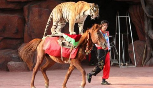 animals-riding-animals:  tiger riding horse