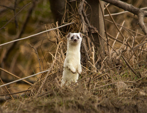 moreanimalia:  howtoskinatiger: White stoat by Malcolm Harcus on Flickr.