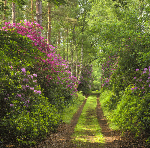 wanderers-haven:  Forest Path, Moray, Scotland; photo via rosealba