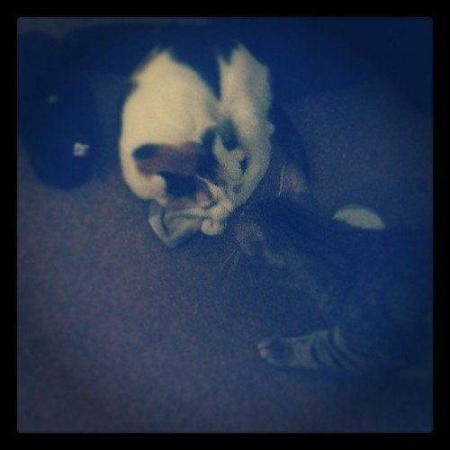 Kitty kisses! She'll do anything to keep my sock. #cute #awww #cats #Tymorbid #love