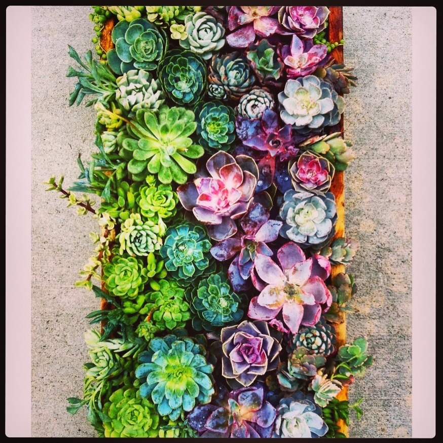 lisaataylor:  Fabulous colours and detail in these vertical succulents….will they be best in show again this year at Chelsea?