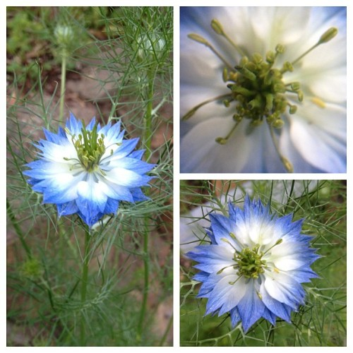 "Nigella sativa aka ""Love in the Mist"". Blooming in the yard"