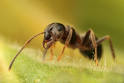 Black ant  photo by Matt Cole