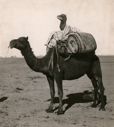 natgeofound:  A wrapped juvenile camel rides between packs on a camel's back in Western Australia, December 1916.Photograph by C. P. Scott, National Geographic