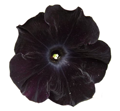 transparent-flowers:  Black Velvet Petunia.