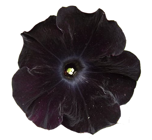 transparent-flowers:  black velvet petunia