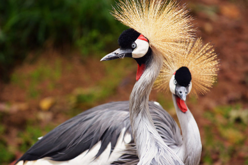 African Crowned Crane by LisaDiazPhotos