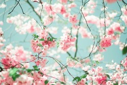 staceyvarela:  cherry blossom | Flowers & Trees on We Heart It. http://weheartit.com/entry/61870240/via/Heartssandsoulss