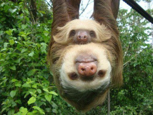 lizardking90:  Sloth :) Sloth fur acts as a complete ecosystem, usually hosting at least two species of symbiotic cyanobacteria (which provide camouflage) and many species insects and other organisms. These range from moths, beetles, and cockroaches to ciliates, fungi, and algae. One study found 950 species of beetle living on one sloth. Image: Mother & baby sloth via Dr. Carin Bondar - Biologist With a Twist. -Ifuckinglovescience