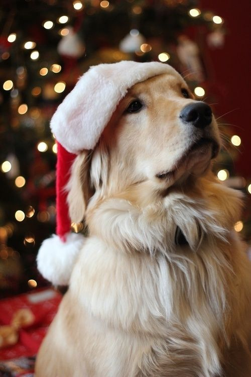 fuckyeahcuteanimalss:  (via Waiting for Santa.)