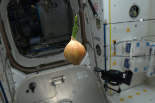 colchrishadfield:  Space Onion - came up on the Progress resupply spaceship. We sliced it up and had it with everything - nice flavor!