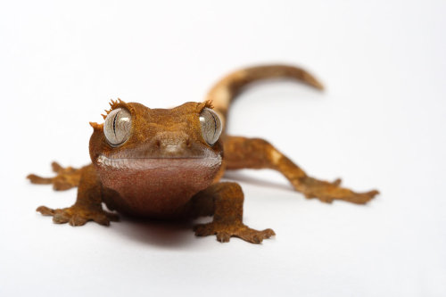 animals-animals-animals:  Crested Gecko (by macrojunkie)
