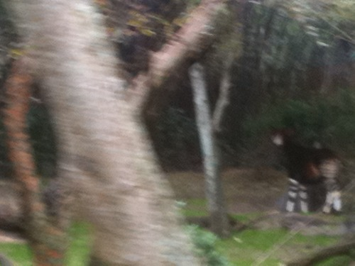 nsect:  thought 'this is very blair witch' then the okapi jumped out at me i wonder if he extends his arm to take these pictures wonder if his tongue hangs out of his mouth when he's focusing on the camera screen