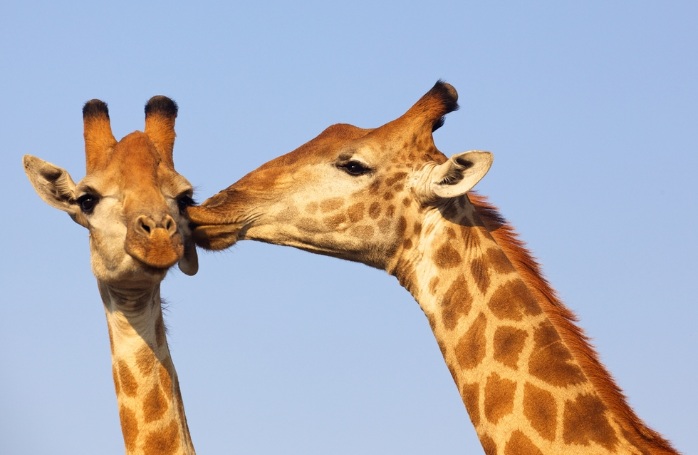 statravelus:  Giraffe smooches in Kruger National Park, South Africa   me and babes