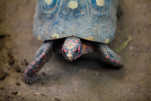 "nature-madness:  Manuela, the tortoise that survived 30 years in a box A red-footed tortoise named Manuela mysteriously ""disappeared"" from a home in a suburb of Rio de Janeiro, Brazil, in 1982. The Almeida family assumed that their pet had lumbered out of the house after builders at the site left the front door ajar. Recently, Leandro Almeida was cleaning out a storage shed and threw away an old wooden box. ""I put the box on the pavement for the rubbish men to collect, and a neighbor said, 'You're not throwing out the turtle as well are you?' I looked and saw her. At that moment, I turned white, I just couldn't believe what I was seeing."" Even the experts are stumped. Red-footed tortoises have been known to go without eating for two to three years in the wild—but 30 years is off the known charts. He speculated that Manuela had survived by eating termites and other small insects and licking condensation. Read more Picture by Gabe Ginsberg"