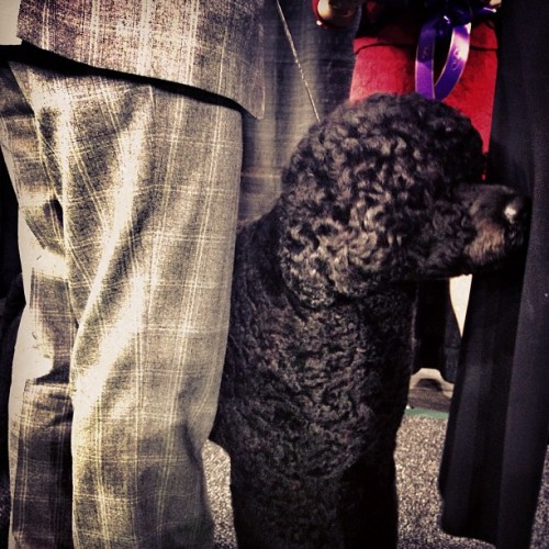Matisse, a Portuguese water  dog, advances to Westminster best in show