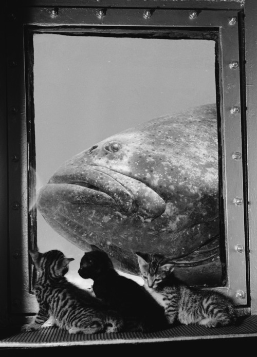A grouper is examined by three kittens at Marineland in Florida, 1938.  Photograph by Luis Marden, National Geographic