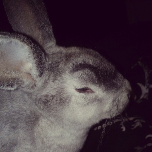 I CAN'T STOP LAUGHING AT THE CHOLA BUNNY WE'RE BABYSITTING!  #chola #eyebrows #chonga #chongaliscious #lol #bunniesofinstagram