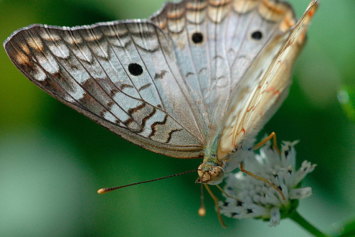 butterfly by adlin on Flickr.