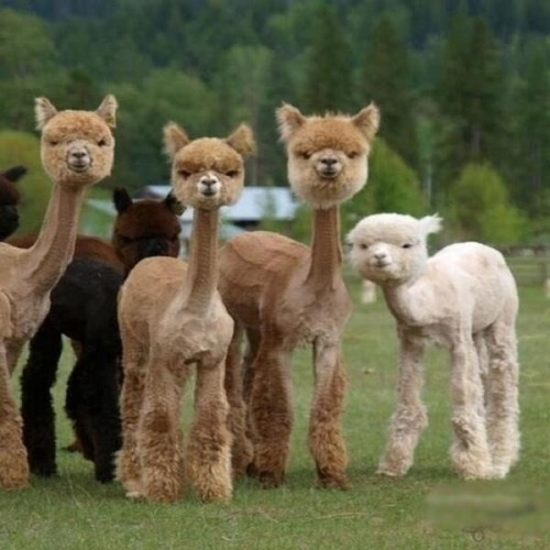 meowed:  shaved llamas..