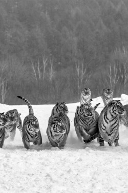 animals Black and White landscape nature tiger tigers myed