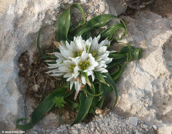 Androcymbium rechingeri - This rare flower only grows in a few parts of Crete. What beautiful leaves!