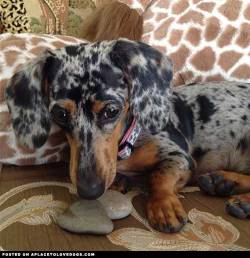 Hi! My name is Kishka and I am a beautiful 10 month old silver Dapple Doxie. My mommy likes to take me on lots of adventures. As you can see in this picture I have a passion for rocks. Via @adventuresofkishka For more cute dogs and puppies