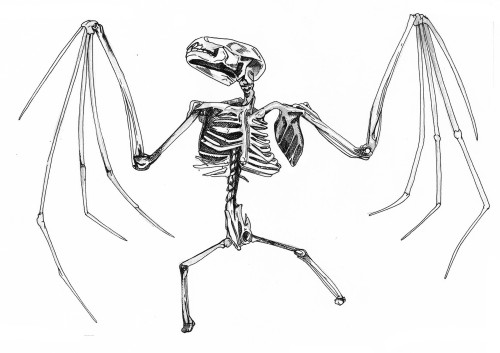 returntovertebrate:  Bat Skeleton
