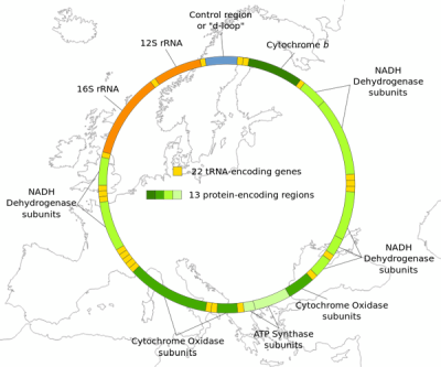 "science-junkie:  Modern Europe's Genetic History Starts in Stone AgeBy Ker ThanEuropeans as a people are younger than we thought, a new study suggests.DNA recovered from ancient skeletons reveals that the genetic makeup of modern Europe was established around 4,500 B.C. in the mid-Neolithic—or 6,500 years ago—and not by the first farmers who arrived in the area around 7,500 years ago or by earlier hunter-gatherer groups. ""The genetics show that something around that point caused the genetic signatures of previous populations to disappear,"" said Alan Cooper, director of the Australian Centre for Ancient DNA at the University of Adelaide, where the research was performed. ""However, we don't know what happened or why, and [the mid-Neolithic] has not been previously identified as [a time] of major change,"" he said.Furthermore, the origins of the mid-Neolithic populations that did form the basis of modern Europe are also unknown.""This population moves in around 4,000 to 5,000 [B.C.], but where it came from remains a mystery, as we can't see anything like it in the areas surrounding Europe,"" Cooper said.The surprising findings are part of a new study, published in this week's issue of the journal Nature Communications, that provides the first detailed genetic history of modern Europe.The study shows that ""relatively recent migrations seem to have had a significant genetic impact on the population of Central Europe,"" said study co-author Spencer Wells, who leads National Geographic's Genographic Project. Read moreImages: [x][x]"