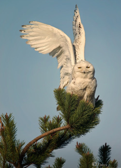 fairy-wren:  Snowy owl (Photo by Don Hamilton)