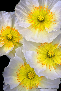 ensphere:  Poppies by Gary Grossman on Flickr.