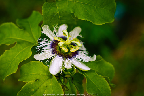 What flower it is? It is a passion fruit flower. =P