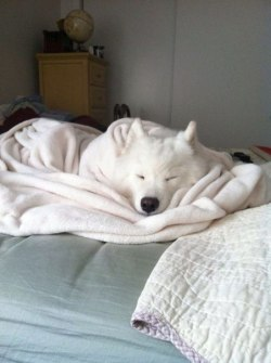 love dog pretty animals cute life beautiful like white sleep Home dream bed live peace sweet relax rest white dog dog bed dreamings