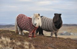 'Shetland ponies and Fair Isle knitwear are beloved across the world, so why not combine the two? The result is two cosy-looking mares dressed in button-down Fair Isle jumpers to promote the Year of Natural Scotland.' via Mail Online