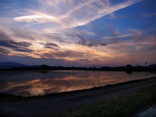 Rice field at sunset by oct_Japan on Flickr.