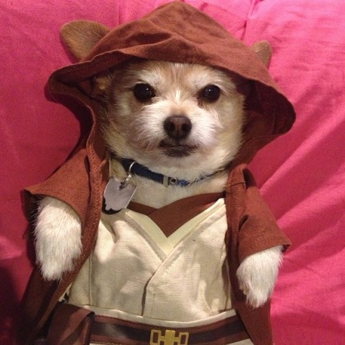 cute-overload:  My sister likes to dress our dog in clothes from Build a Bear..Here he is as a Jedihttp://cute-overload.tumblr.com