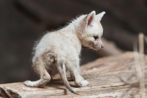 senatorskoshie:  Fennec Fox kit!