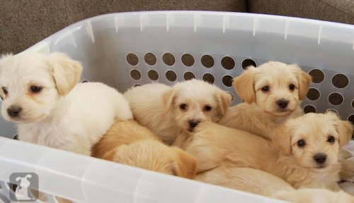CUTENESS BREAK: PUPPIES IN A LAUNDRY BASKET BY @PETCOLLECTIVETVby Blaire Bercy http://bit.ly/10cIJkK