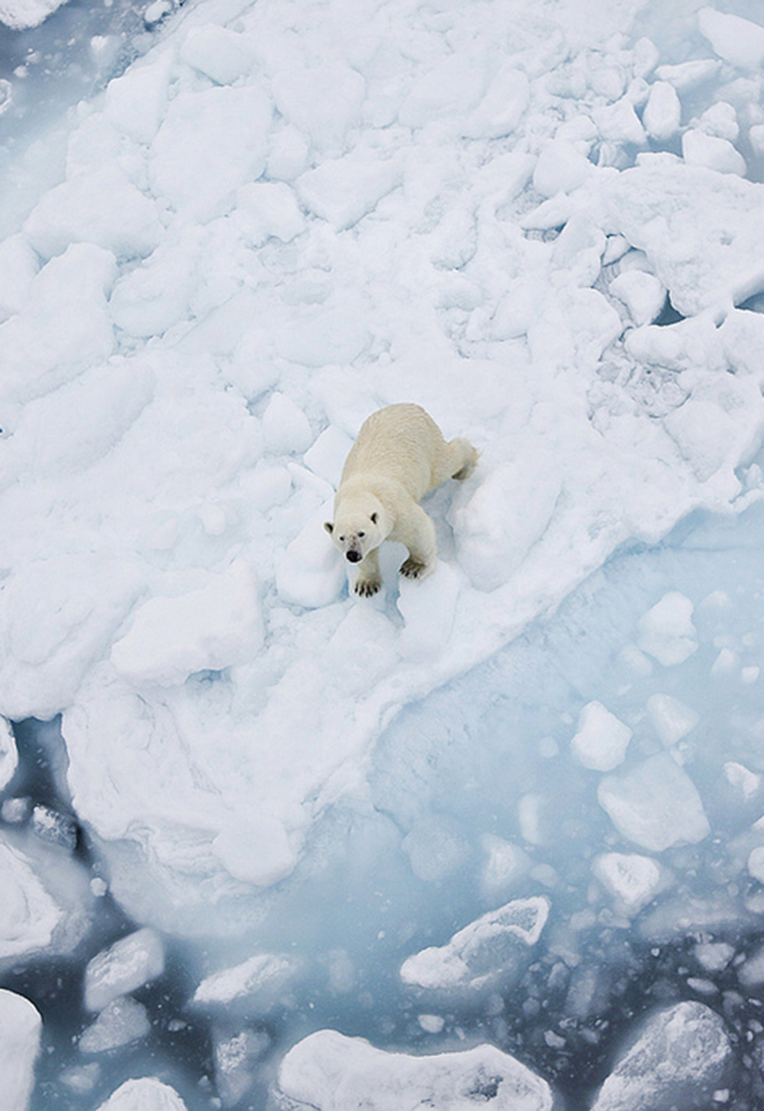mystic-revelations:  polar bear on ice By pilapix