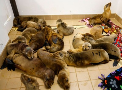 Rescued California sea lion pups rest at the Pacific Marine Mammal Centre in Laguna Beach, California. The centre has been overwhelmed by the number of severely malnourished and dehydrated pups coming to shore along the Orange County coastline.  Picture: REUTERS/Mike Blake