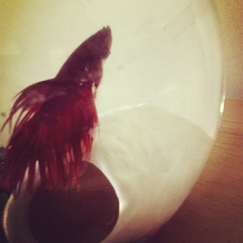 I'd like to introduce you all to Loki #WelcomeToTheFamily #betafish #fishofimstagram #NorseGod (at 153)