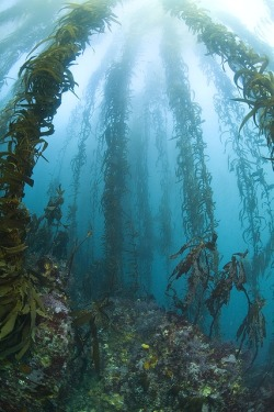 nature wildlife ocean sea seascape Aquatic sea life kelp forest i wanna live here