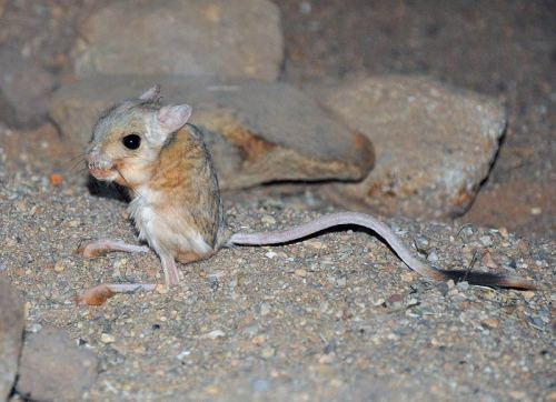 How Does Your Skeleton Grow? by Gretchen Vogel The foot bones of the jerboa are hard to miss. Longer than the animal's arm, they help the bipedal desert rodent hop quickly away from predators. Now, they have also helped scientists better understand how bones grow to the right length. The finding helps explain some of the factors that affect the shape of skeletons, and they could eventually help to treat bone growth defects. A growing bone lengthens when cells in its so-called growth plate, a region at the ends of growing bones, multiply and expand. The cells, called chondrocytes, form the cartilage that provides a scaffold for the mature calcified bone that later grows on top of them. Scientists knew that the size of the chondrocytes—not only their number—helped fix how much and how quickly a bone grows. But exactly what drives that cell size growth is a mystery… (read more: Science)                            (image: Elias Neideck)