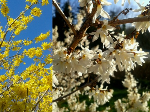 Forsythia duo. Forsythia x intermedia and Abeliophyllum distichum. I actually prefer the White Forsythia: dreamy and fragrant when blooming.
