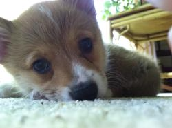 corgiaddict:  Norbert the puppy :) submitted by Matt Hopper