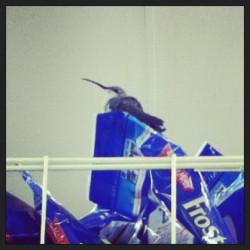 Found a humming bird in the supermarket o3o just how? Idk #supermarket #lol #instalike #likes #hummingbird #cutie #bird #cute #animal