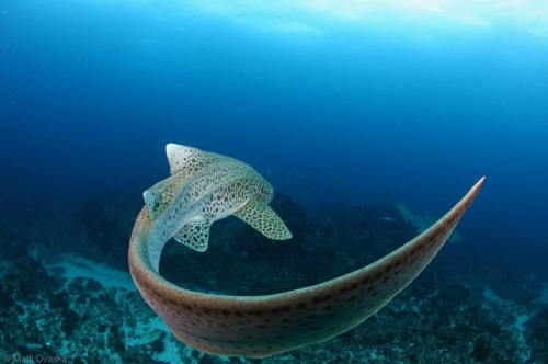 underthevastblueseas:  Zebra Shark by Matti Ovaska