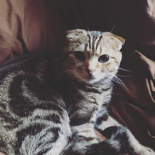 Фото породы Шотландская вислоухая кошка (Скоттиш - фолд)
